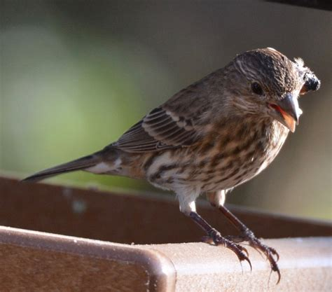 house finch disease house finches with eye disease feederwatch