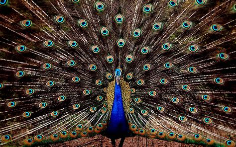 color peacock united colors of peacock hd wallpapers hd wallpapers