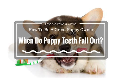 do puppies teeth fall out how to be a great puppy owner when do puppy teeth fall out 2017