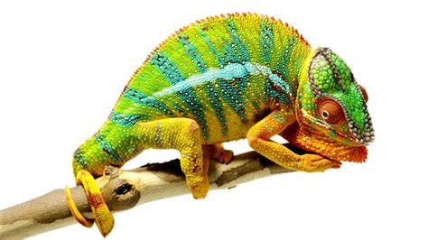 Most Beautiful Colors beautiful footage chameleons are amazing