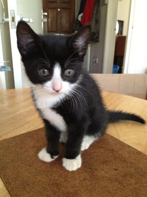 black and white kitten cute black and white kitten london east london pets4homes