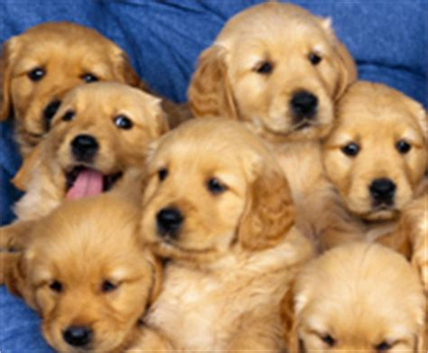 golden retriever island ny golden retriever puppies for sale island manhattan