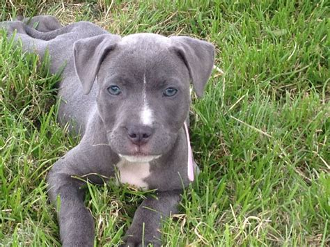 blue staffy staffordshire bull terrier blue www imgkid the image kid has it