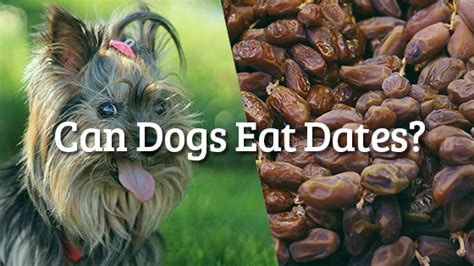 can dogs eat dates can dogs eat dates pet consider