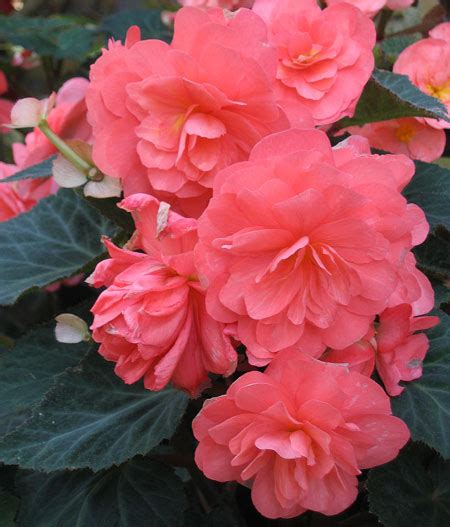 this is the begonia page of our a to z guide to plants