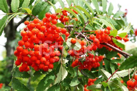 rowan tree fruit rowan tree with berry fruit stock photos freeimages