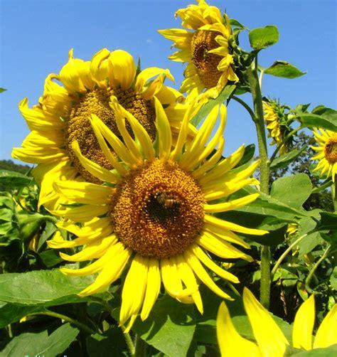 black sunflower seeds maturity 1000 seeds bulk black peredovik sunflower seeds
