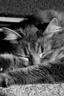 katze zittert beim schlafen hintergrundbild einer katze beim schlafen f 252 rs iphone