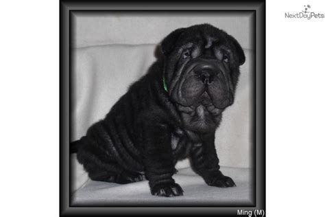 puppy microchip cost mini shar pei free microchip price negotiable shar pei puppy for sale near