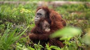 The orang utan protectively hugs her baby source supplied