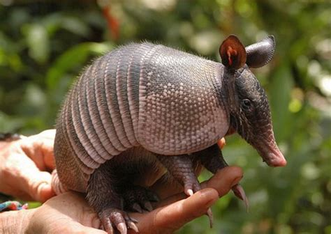 Armadillo Pet Pet Pet Product by Armadillos As Pets Animals Wiki Pictures