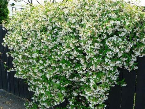 finto gelsomino in vaso finto gelsomino piante da giardino caratteristiche
