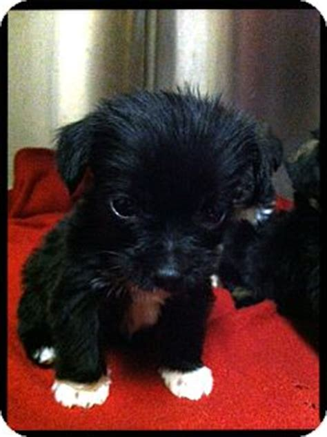 yorkie puppies nj yorkie shihtzu puppies adopted puppy cranford nj yorkie terrier shih