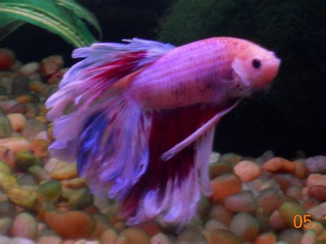 chagne pink color my betta changes colors does yours 87785