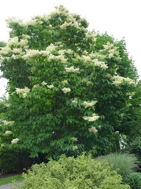 lilac tree information japanese lilac tree