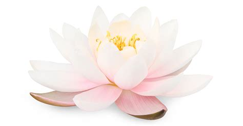 buddhism lotus flower meaning related keywords suggestions for lotus flower meaning
