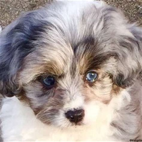 miniature aussiedoodle puppies for sale miniature aussiedoodle puppies for sale in pa