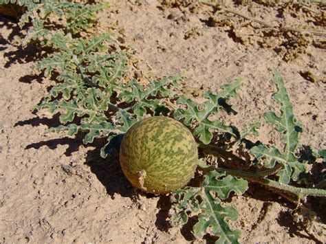 Flora: Citrullus colocynthis / Colocynth Melon   Witjira