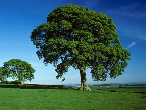 what does the sycamore tree symbolize ehow uk sycamore acer pseudoplatanus woodland trust