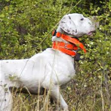 how to an aggressive with a shock collar wireless collars thedogtrainingsecret