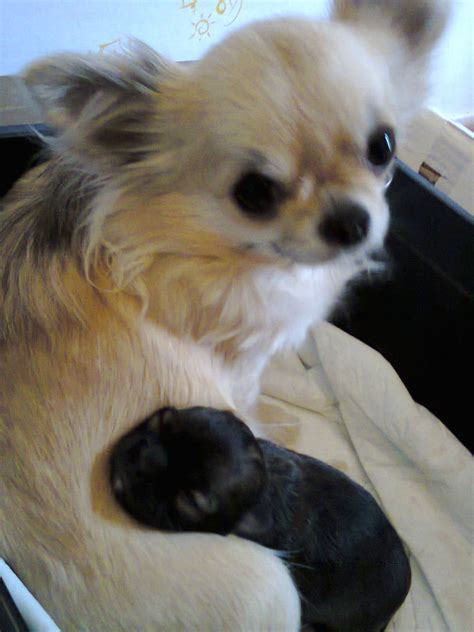 Small That Does Not Shed by Small Teacup Dogs That Do Not Shed Breeds Picture