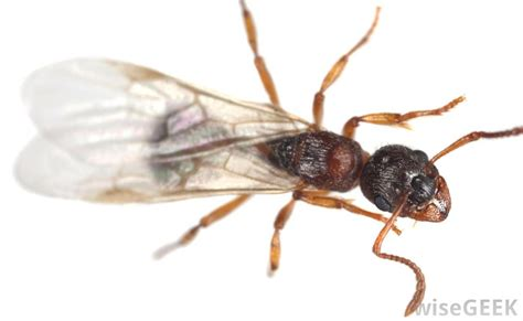 flying ants in house how to kill flying ants and get rid of them pest removal guide