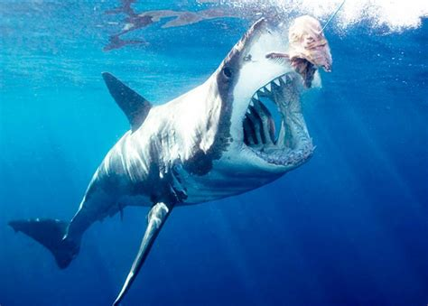 cool animal pix great white sharks