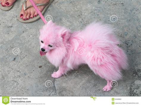 pink pomeranian pink pomeranian pet stock photography image 9440802