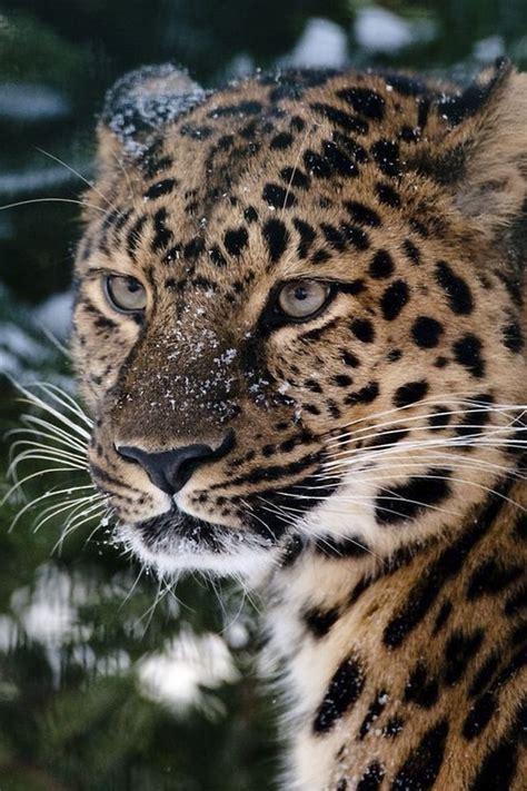 wallpaper iphone 5 leopard https www facebook com furbabiesarethebestbabies snowy