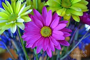 colorful daisies colorful daisies photograph by briella danowski