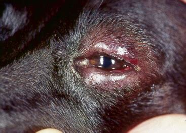 blepharitis in dogs diseases of claws sacs and ear canals veterian key