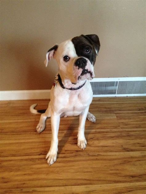 bulloxer puppies for sale 1000 images about bulloxer amercian bulldog boxer mix on parma 6 month