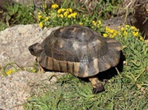 tartaruga terrestre alimentazione alimentazione tartarughe terrestri tartapedia