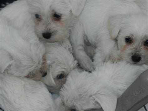 miniature bichon frise puppies for sale white miniature schnauzer x bichon frise puppies burnley lancashire pets4homes