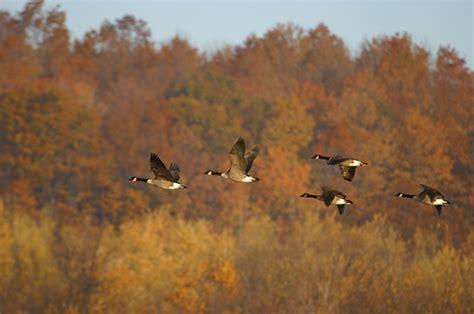 fall bird migration askmax countrymax com