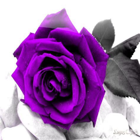 imagenes de rosas moradas y azules descargar rosas moradas contra violencia de g 233 nero