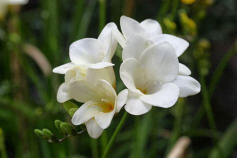 fiore bianco molto profumato fresia freesia freesia bulbi fresia freesia bulbi