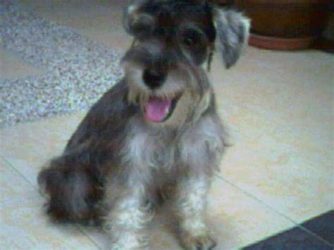 mini schnauzer puppies for adoption schnauzer for adoption breeds picture