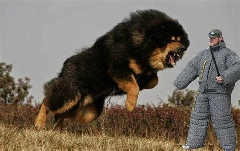 most vicious dogs top 25 most dangerous breeds in the world