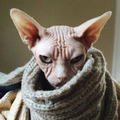 meet loki  worlds grumpiest sphynx cat  pics izismilecom