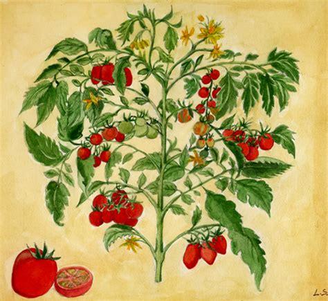 pomodori cuore di bue in vaso coltivare pomodoro in vaso o nei sacchi grow the planet