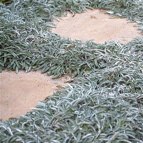 400 Yard Home Design silver carpet drought tolerant front yard lanscaping