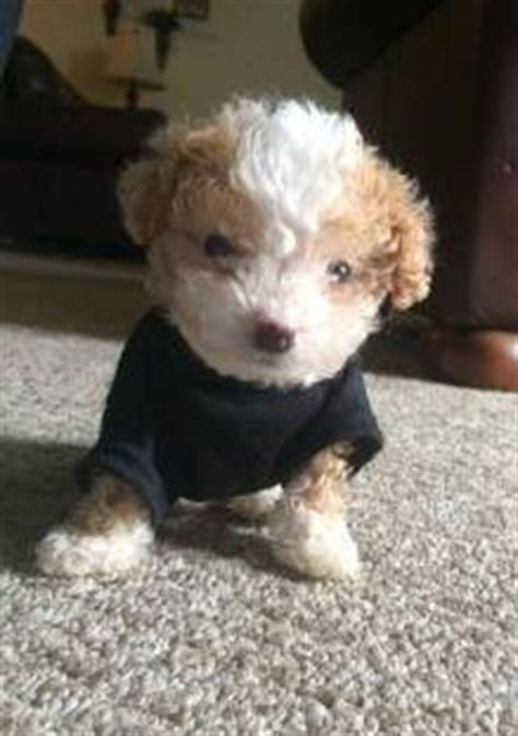how to care for a 4 week puppy maltipoo puppy care the maltipoo information center