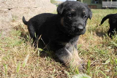 rottweiler puppies for sale bay area german shepherd mix puppies in the sf bay area breeds picture