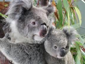 l australian koala foundation australia australie