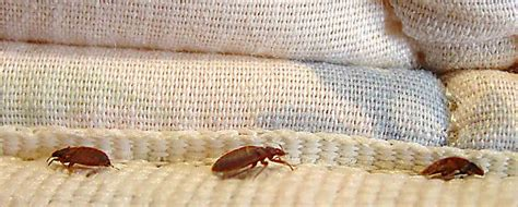 are bed bugs harmful are bed bugs dangerous to your health