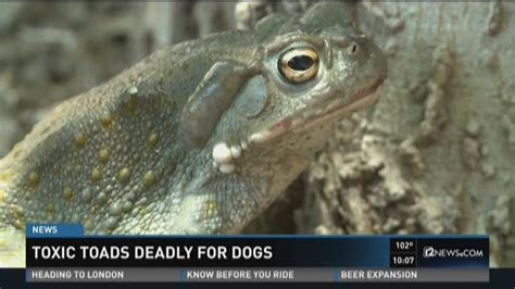 are toads poisonous to dogs toxic toads deadly for dogs 11alive