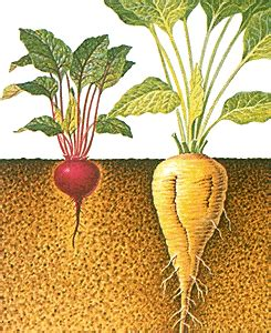 Does Beetroot Make Your Stool by What S The Difference Between Beta Vulgaris And Sugar Beet