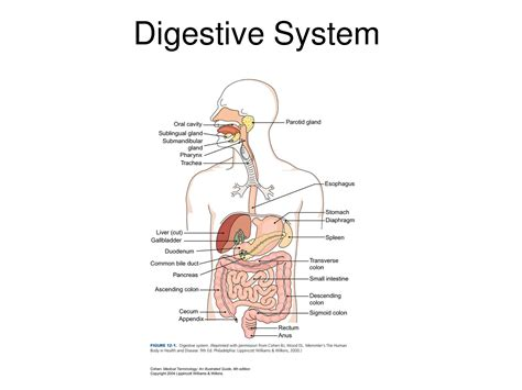 diagram of the digestive system human digestive system diagram goji actives diet