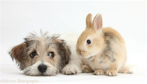 puppies and bunnies pets bichon frise x puppy and bunny photo wp38484 pictures of